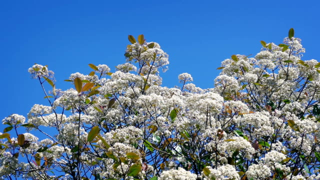 Blossoms In Breeze On Sunny Day video