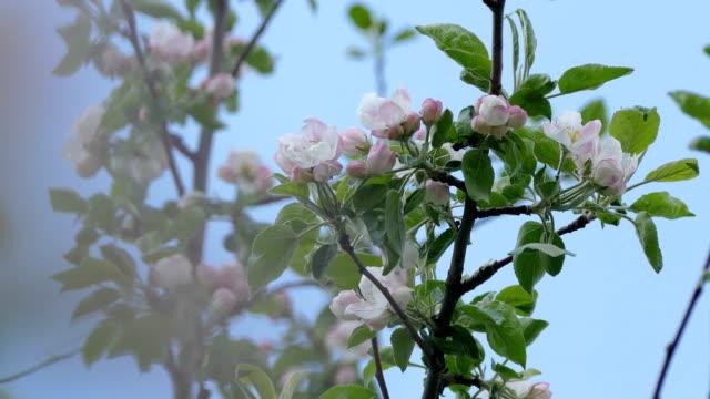 blossoms spring branch flower apple video