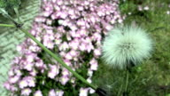 Blowball Dandelion Seed Flying From Flower Slow Motion video