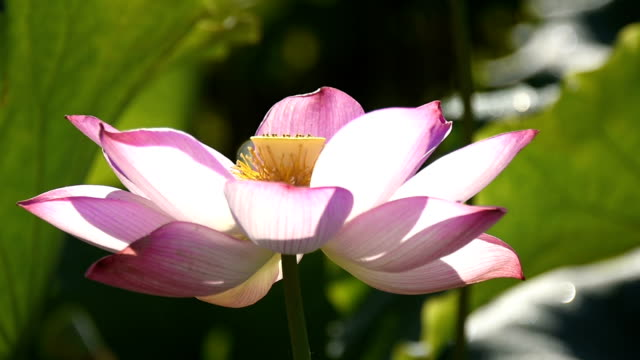 Blowing Lotus flower in the pond HD Video video