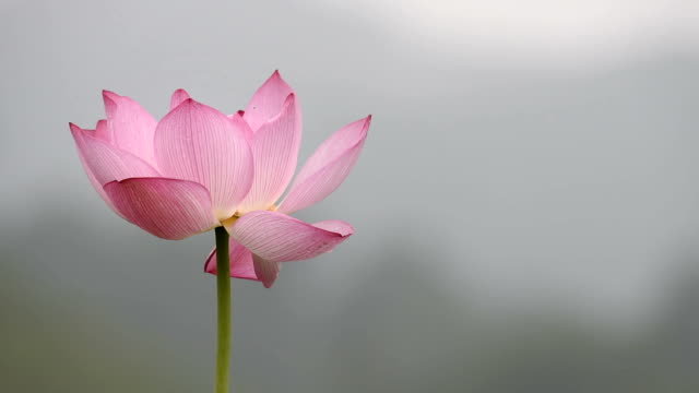 Blowing Lotus flower in the wind video