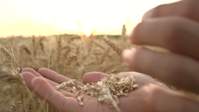 HD SUPER SLOW MO: Blowing Wheat Seeds video