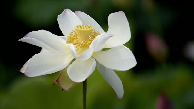 Blowing white Lotus flower in the wind video