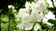 Blown apple flower in the park. Close up shot. Clean and bright daytime. video