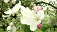 Blown apple flower swaying in the wind. Close up shot. Clean and bright daytime. video