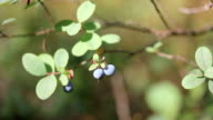 bluberry bushes in the forest video