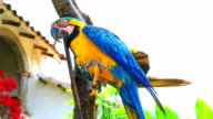 Blue and Gold Macaw stand and gnaw on a branch video