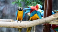 Blue and Gold Macaw video