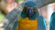 Blue and Yellow Macaw Closeup video
