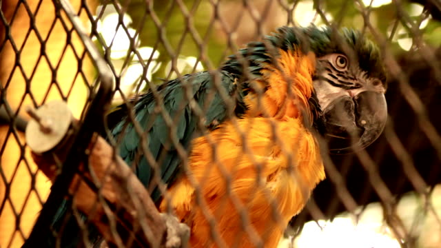 Blue and Yellow Macaw in Cage video
