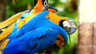 Blue and yellow Macaw video