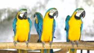 blue and yellow macaws (ara ararauna) perched ,bird video