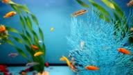blue aquarium background calm fish swim grass saver video video