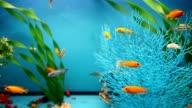 blue aquarium background calm fish swim grass video saver video