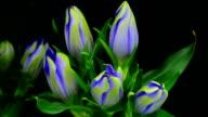 Blue bell flowers blooming video