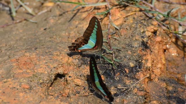 Blue bottle Butterfly video