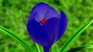 Blue Crocus Flower Blooming video