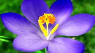 Blue Crocus Flower In Springtime. Looped. video