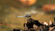 Blue dragonfly video