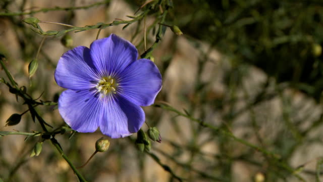 'Blue Flax' 1080p. Also see: video