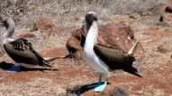 Blue footed boobies dancing on North Seymour Island video