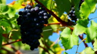 Blue Grapes in a Vineyard Close Up (Loopable) video