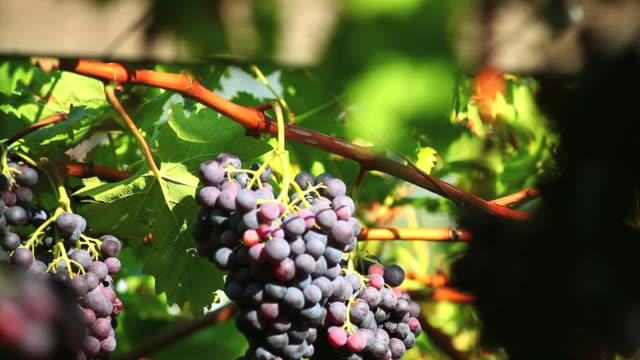 Blue Grapes in a Vineyard Tilt Down video