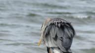 Blue heron close up ocean background video