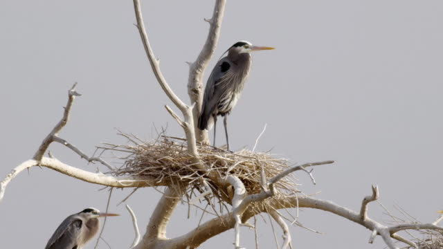 Blue Heron Nests Salton Sea (HD) video
