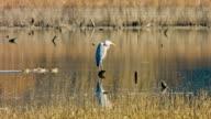 Blue Heron video