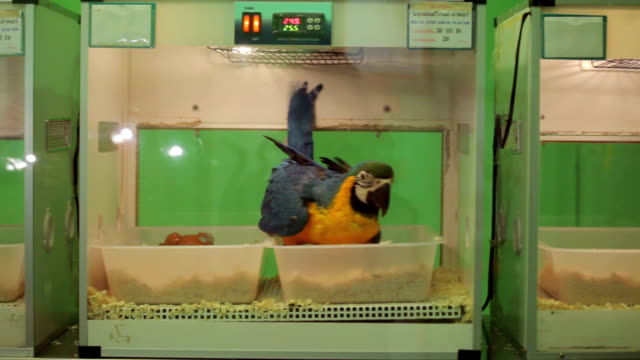 Blue macaw in the biology laboratory video