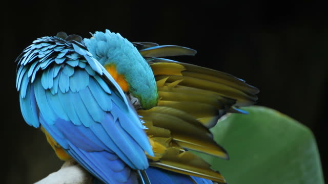 HD : Blue Macaw video