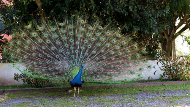 Blue male peacock with feathers extended video