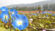 Blue morning glory flowers video
