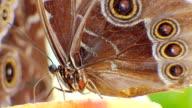 Blue Morpho butterfly (Morpho peleides video
