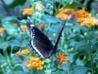 Blue Morpho Butterfly video