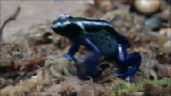 Blue poison dart frog video