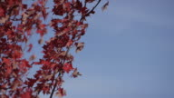 Blue Sky and Red Leaves video