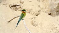 Blue tailed Bee eater on a branch.(Merops philippinus) video