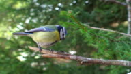 Blue Tit on the Branch video