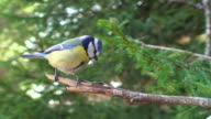 Blue Tit Perching on the Branch video