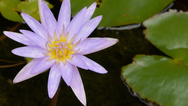 Blue waterlily video