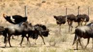 Blue wildebeest walking with ostriches video