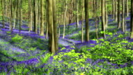 Bluebell flowers in Halle Forest. video