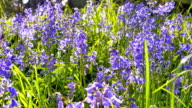 Bluebell Flowers in Lush Green Field, Spring Time video