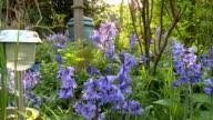 Bluebells In A Wild English Garden video