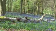 Bluebells (Hyacinthoides non-scripta) video
