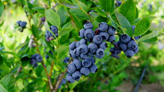 Blueberries on on the bush video