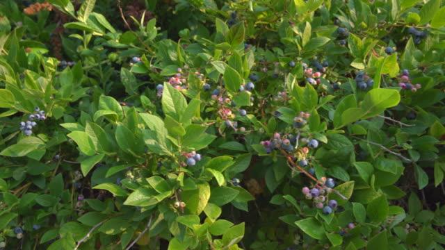 Blueberries on the Bush dolly shot 4K. UHD video