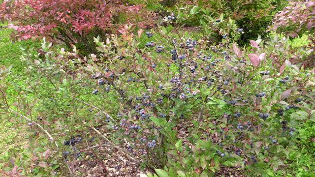 Blueberry berry bush grow in garden plantation. Healthy food video